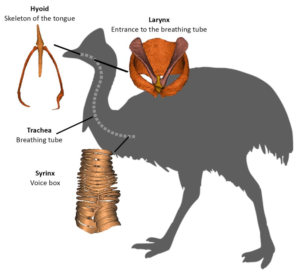 The relationships between palaeognaths the cassowary and close relatives, as determined from genetic data, has now been supported by morphological data.